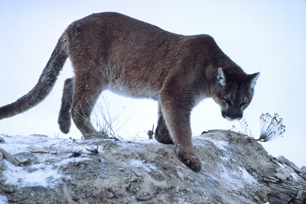 Forty plus 47 great american cougar hunt